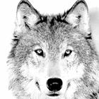 Серый волк, Серый волк