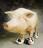 Пинская свинья