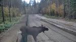 Из Беларуси сбежал лось