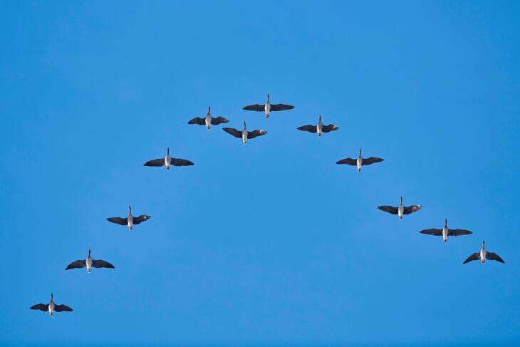 Пеп восхищается гусями (полет клином – командная работа). Еще раньше их примером Фергюсон мотивировал игроков «МЮ»