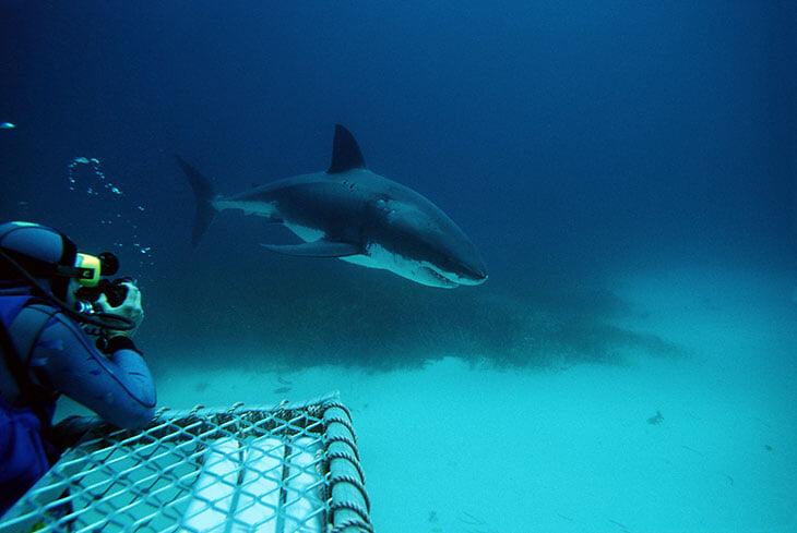 «Удивительное чувство: хищник, который может легко тебя убить, дает себя трогать». Нереальный рассказ Игоря Денисова об акулах