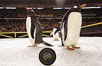 Мэтт Каллен, NHL Stadium Series, фото, животные и спорт, видео, НХЛ, Питтсбург