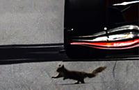 происшествия, Гран-при Канады, Феррари, видео, Себастьян Феттель, Ромен Грожан, Формула-1, спорт среди животных, животные и спорт