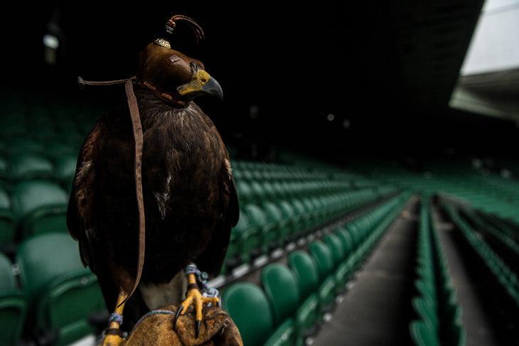 На «Уимблдоне» работает ястреб: защищает газоны от голубей, продает мерч и попадает на первые полосы газет 🦅