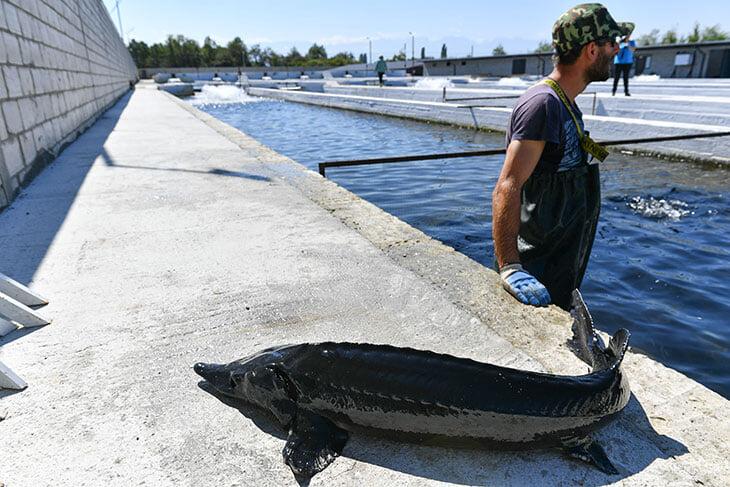 Оказывается, Черчесов и Агузаров вместе выращивают сотни тонн рыбы. Это самый выгодный бизнес в Осетии прямо сейчас