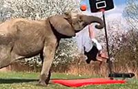 Акробат хотел забить сверху с помощью слона. Он чуть не убился, но все же занес мяч в кольцо