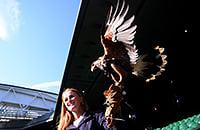 На «Уимблдоне» работает ястреб: защищает газоны от голубей, продает мерч и попадает на первые полосы газет