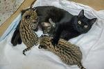 В Новосибирском зоопарке две домашние кошки стали приёмными мамами