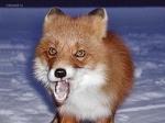 Улыбочку, лисичка! - Фрикции. Animals - Блоги - Sports.ru