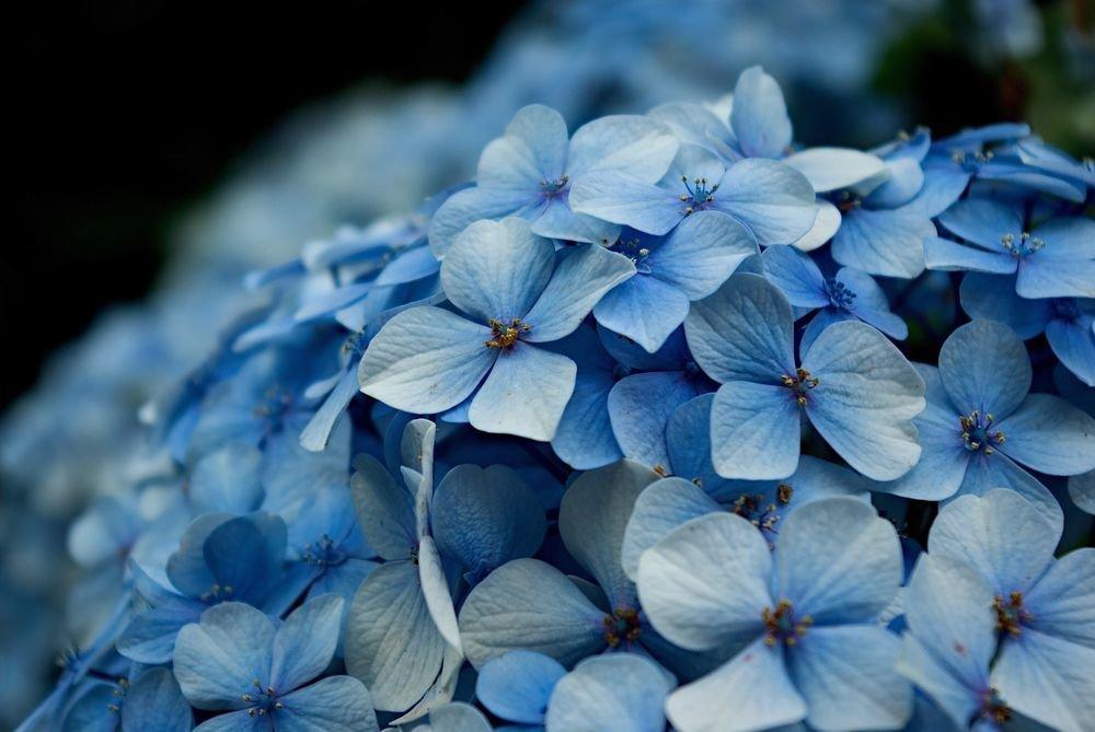 Смотреть картинки голубых цветов
