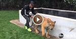 Льюис решил подшутить над тигрицей, подкрался сзади и напугал ее...
