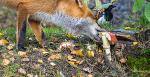 Веселая лисица / Фото дня / Моя Планета