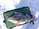Окунь-гигант: сызранский рыбак поймал рыбину, которую едва вытащил из лунки
