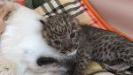 В приморском зоопарке собака «усыновила» двух котят леопарда.