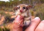 15 поссумов и опоссумов доказывающих, что они самые милые существа в мире