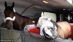 Лошадки не боятся летать на самолете. А вы? - Круто.Ново - Блоги - Sports.ru