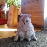 Кошки, которые разучились сидеть по-кошачьи