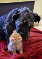 Эта собака не только любит осиротевших котят, она помогает спасать их жизни!