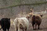 Немецкий олень спрятался от охотников в стаде коров