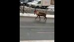 Полицейские поймали оленя, гулявшего по Санкт-Петербургу