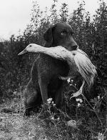 Нет, это не случай на охоте, когда ретривер принес хозяину подстреленную им утку