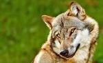 Скай Волк, Скай Волк